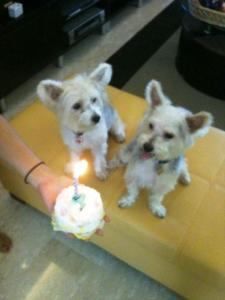 Two silkese dogs celebrate their birthday with a cake