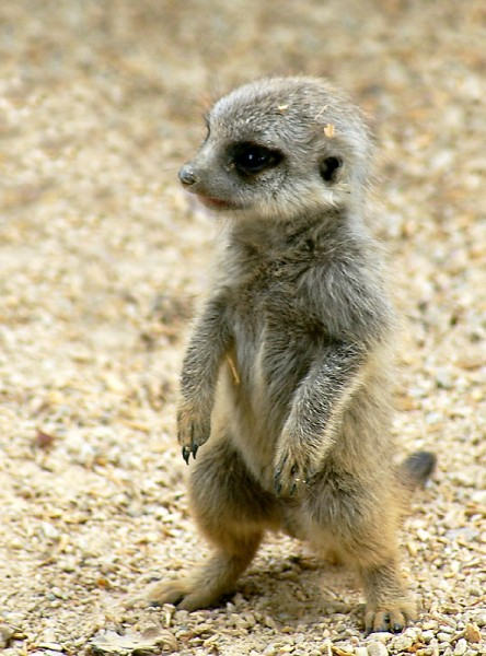 Baby Meerkats Are so Cute