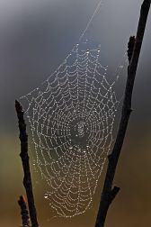 400px-Spider_web_with_dew_drops